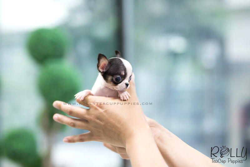 (SOLD to Davis) Jojo - Chihuahua. M - Rolly Teacup Puppies - Rolly Pups
