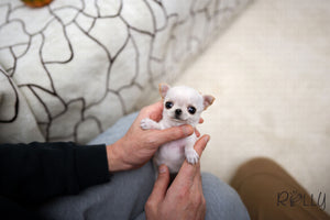 (Purchased by SANTA) Joy - Chihuahua. F - Rolly Teacup Puppies - Rolly Pups
