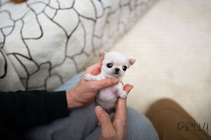 (Purchased by SANTA) Joy - Chihuahua. F - Rolly Teacup Puppies