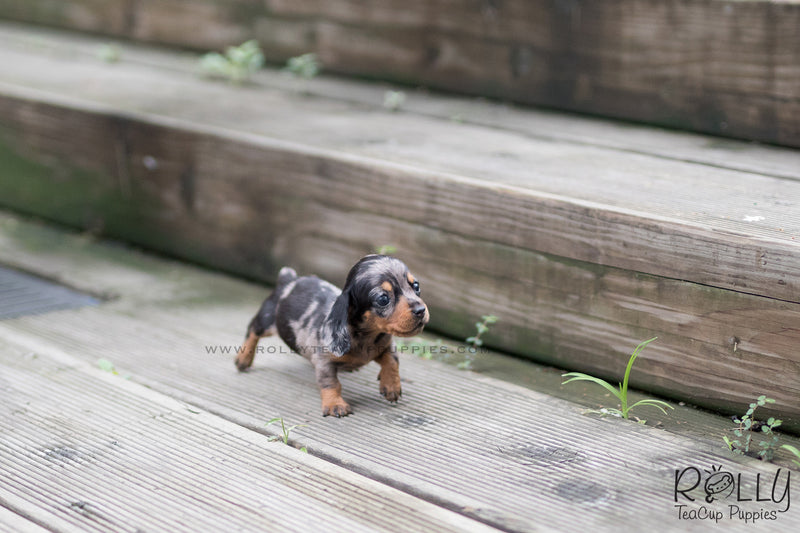 (SOLD to Wells) Joy - Dachshund. F - Rolly Teacup Puppies - Rolly Pups