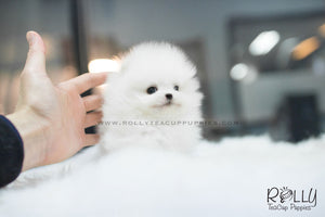 (SOLD to Espinosa) Junior - Pomeranian. M - Rolly Teacup Puppies - Rolly Pups