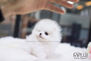 (SOLD to Espinosa) Junior - Pomeranian. M - Rolly Teacup Puppies
