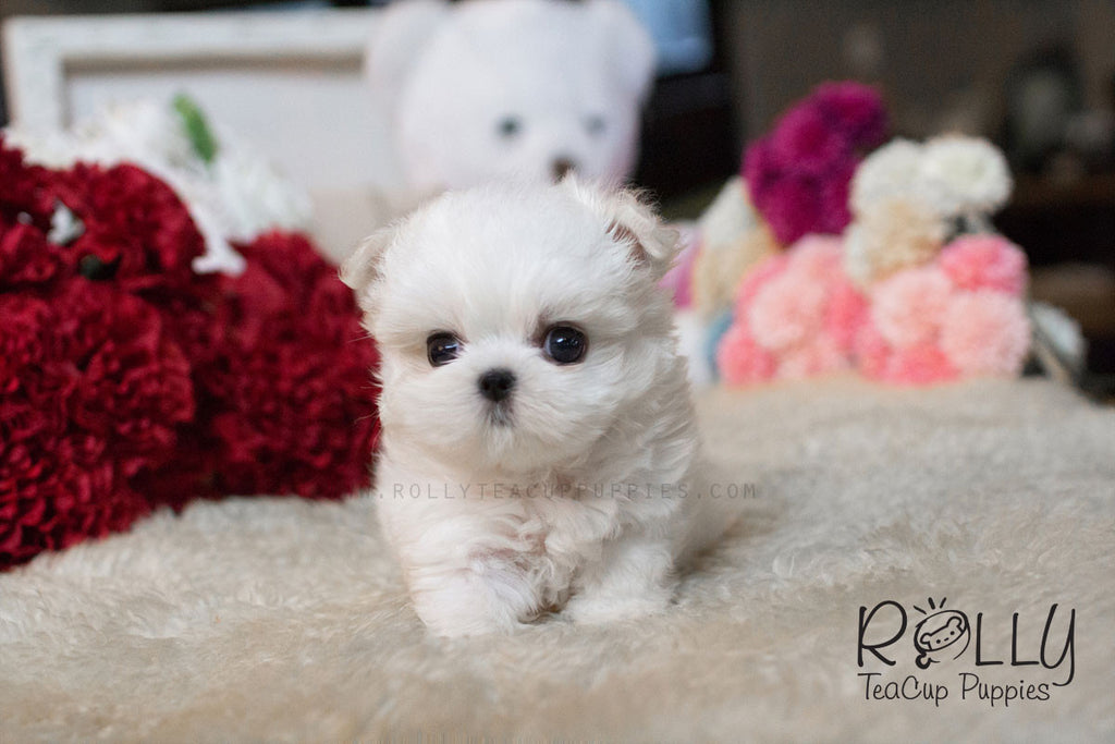 Julie - Maltese - Rolly Teacup Puppies - Rolly Pups