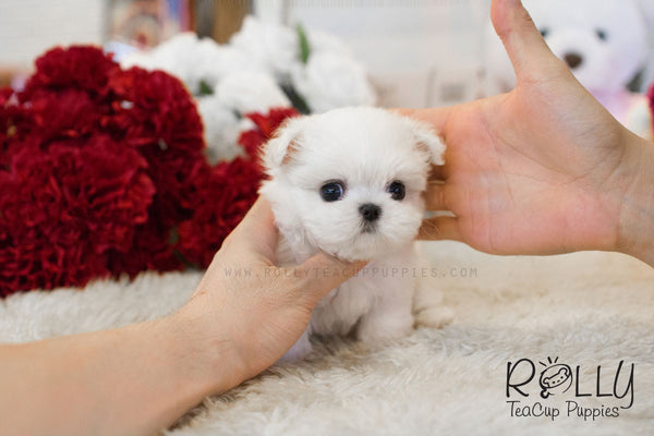Julie - Maltese - Rolly Teacup Puppies
