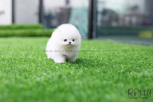 (SOLD to Cochella) Juliet - Pomeranian. F - Rolly Teacup Puppies - Rolly Pups