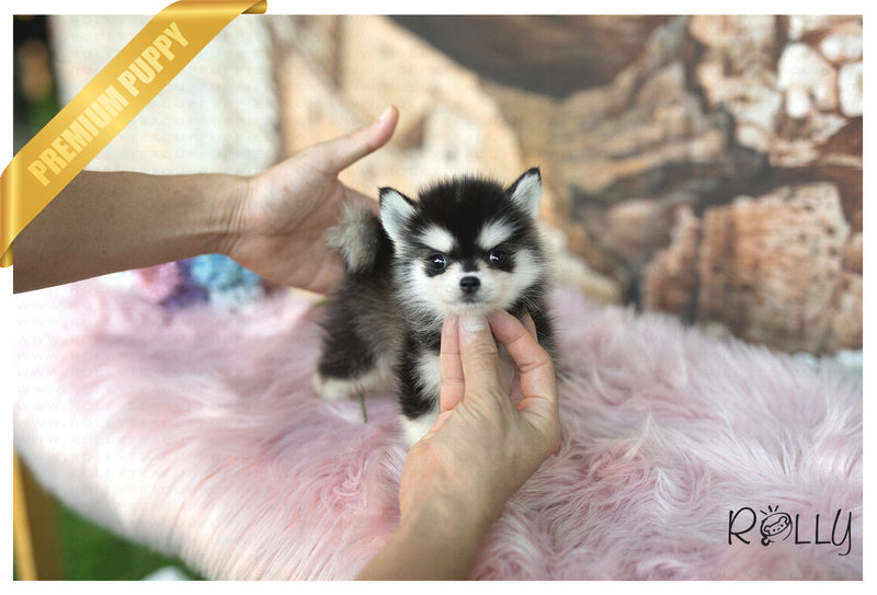 (Purchased by Willis) Juno - Pomsky. M - Rolly Teacup Puppies