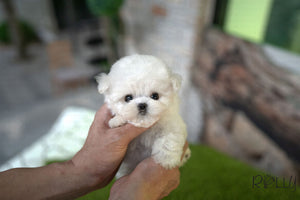 (Purchased by Tran) JUPITER - Maltipoo. M - Rolly Teacup Puppies - Rolly Pups