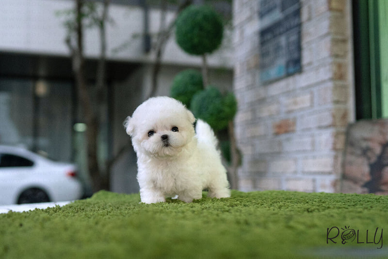 (Purchased by Tran) JUPITER - Maltipoo. M - Rolly Teacup Puppies