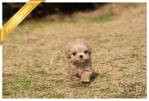 (PURCHASED by Kwon) KARL - Maltipoo. M - ROLLY PUPS INC