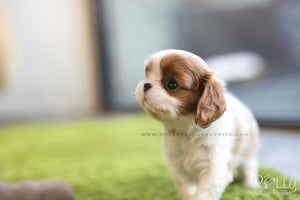 (SOLD to Walter) Coco - King Charles Jr. F - Rolly Teacup Puppies