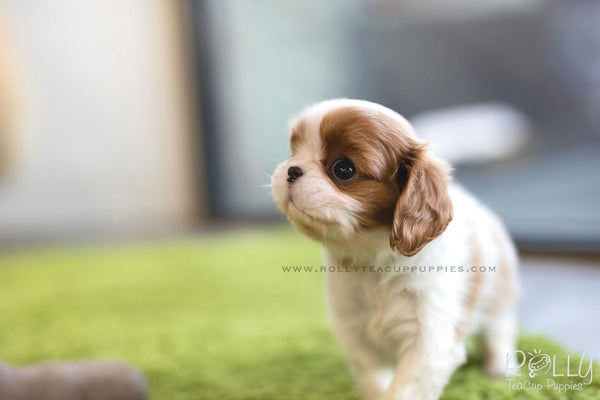 (SOLD to Walter) Coco - King Charles Jr. F