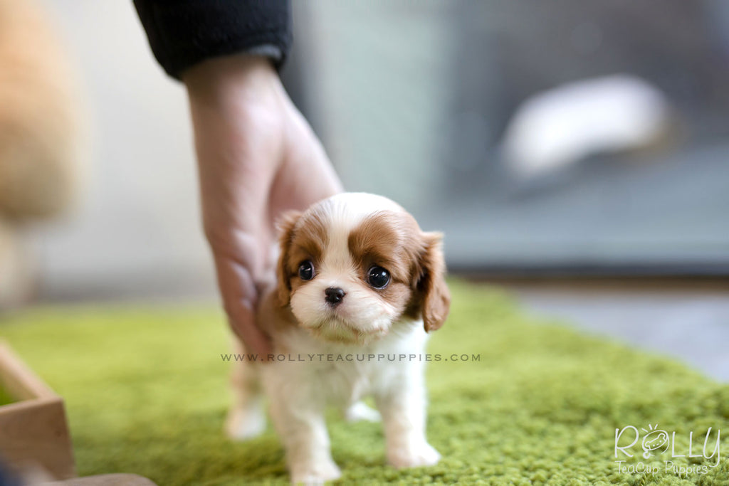 (SOLD to Walter) Coco - King Charles Jr. F - ROLLY PUPS INC
