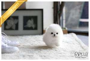 (Purchased by Garcia) Khan - Pomeranian. M - Rolly Teacup Puppies