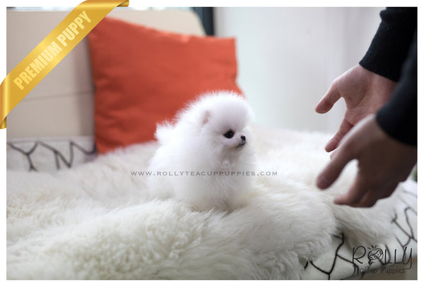 (SOLD to Sheng) Kai - Pomeranian. M - Rolly Teacup Puppies