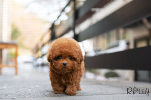 (PURCHASED by Sotoodehfar) Karl - Poodle. M - Rolly Teacup Puppies