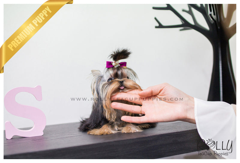 (SOLD to R.F) Karl - Yorkshire Terrier. M - Rolly Teacup Puppies - Rolly Pups
