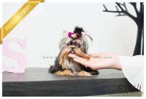 (SOLD to R.F) Karl - Yorkshire Terrier. M - Rolly Teacup Puppies