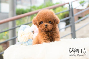 Karl - Poodle - Rolly Teacup Puppies