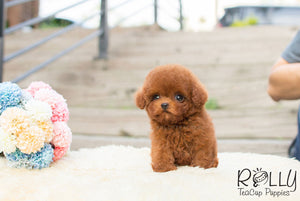 Karl - Poodle - Rolly Teacup Puppies - Rolly Pups