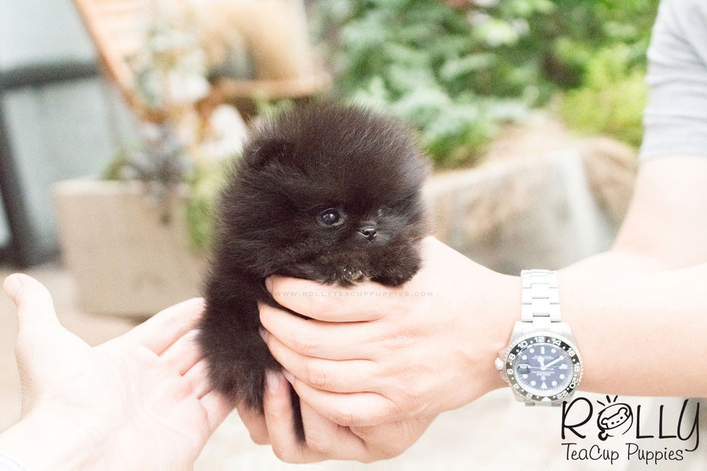 Kasey - Pomeranian - Rolly Teacup Puppies