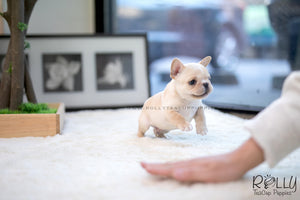 (SOLD to Fang) Kenzo - French. M - Rolly Teacup Puppies - Rolly Pups