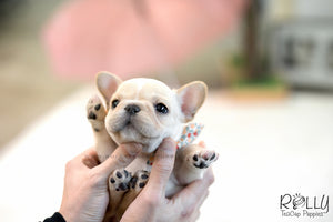 (SOLD to Fang) Kenzo - French. M - Rolly Teacup Puppies
