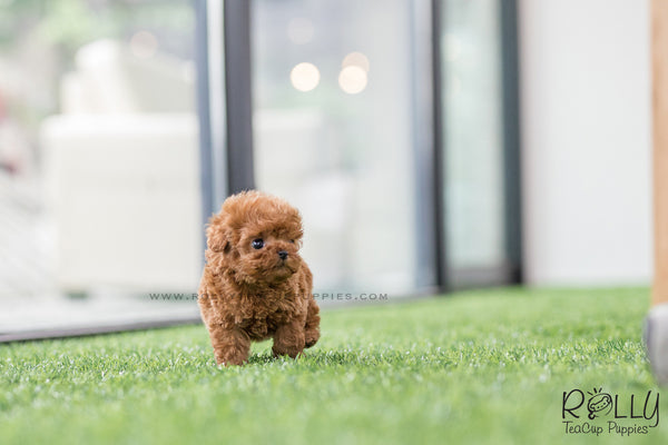 (SOLD to Chang) Kenzo - Poodle. M - Rolly Teacup Puppies