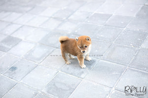 (SOLD to Ferre) Kiko - Shiba. F - Rolly Teacup Puppies