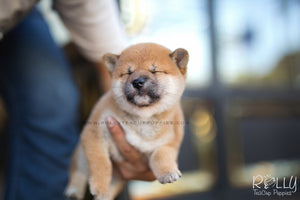 (SOLD to Jean) Kiko - Shiba Inu. F - Rolly Teacup Puppies - Rolly Pups