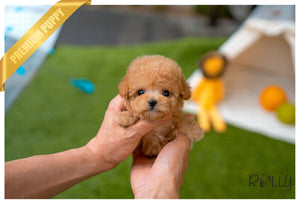 (Purchased by Llamas) Kingsley - Poodle. M - ROLLY PUPS INC