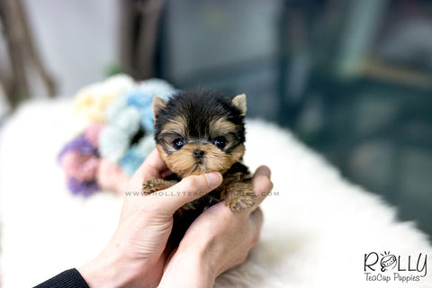 (SOLD to Merrins) Kirby - Yorkie. M