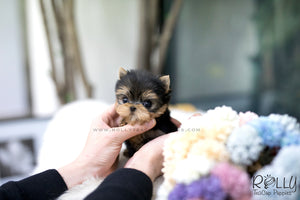 (SOLD to Merrins) Kirby - Yorkie. M - Rolly Teacup Puppies - Rolly Pups