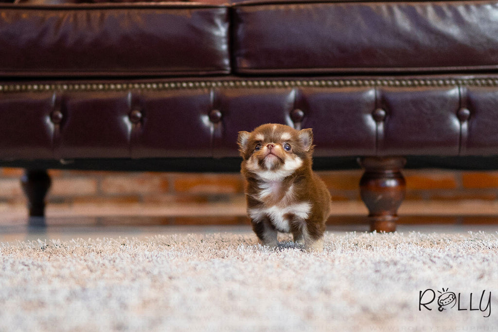 (Purchased by Sohne) Kitkat - Chihuahua. M - Rolly Teacup Puppies
