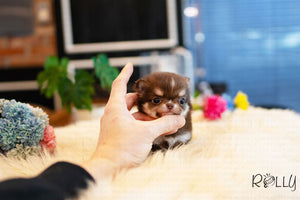 (Purchased by Sohne) Kitkat - Chihuahua. M - Rolly Teacup Puppies - Rolly Pups