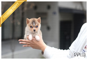 (Purchased by Chan) Kitkat - Pomsky. M - Rolly Teacup Puppies - Rolly Pups