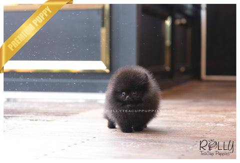 (SOLD to Charles) Kona - Pomeranian. M - Rolly Teacup Puppies