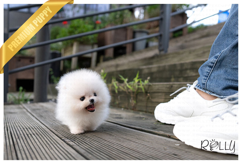 (Purchased by Mohamed) KONG - Pomeranian. F - ROLLY PUPS INC