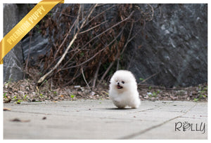 (Purchased by Mohamed) KONG - Pomeranian. F - Rolly Teacup Puppies - Rolly Pups