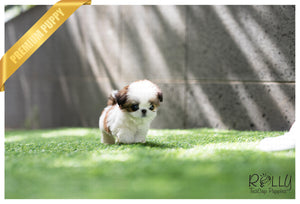 (SOLD to Leann) Kong - Shih Tzu. M - Rolly Teacup Puppies - Rolly Pups