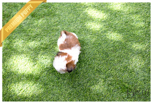 (SOLD to Leann) Kong - Shih Tzu. M - Rolly Teacup Puppies