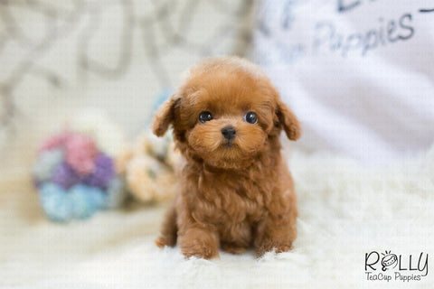 (RESERVED to Robinson) Kova - Poodle. F - Rolly Teacup Puppies