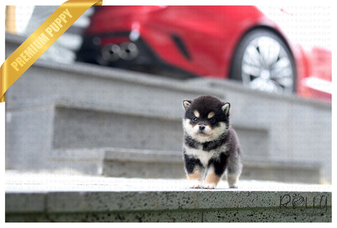 (SOLD to Cathy)Kuku - Shiba Inu. M - Rolly Teacup Puppies