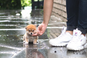 (Purchased by Yonah) Kuma - Shiba Inu. F - Rolly Teacup Puppies
