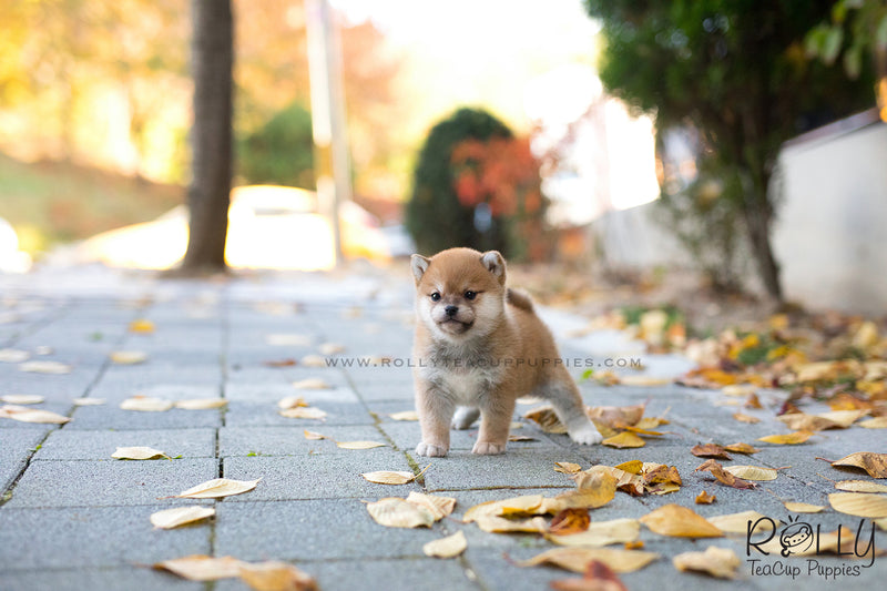 (SOLD to Deline) Kuma - Shiba Inu. M - ROLLY PUPS INC