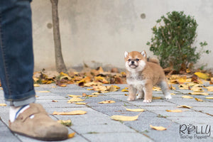 (SOLD to Deline) Kuma - Shiba Inu. M - Rolly Teacup Puppies