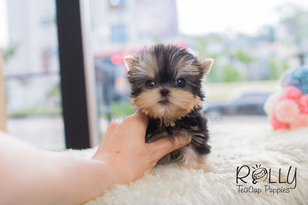 Kylie - Yorkie - Rolly Teacup Puppies