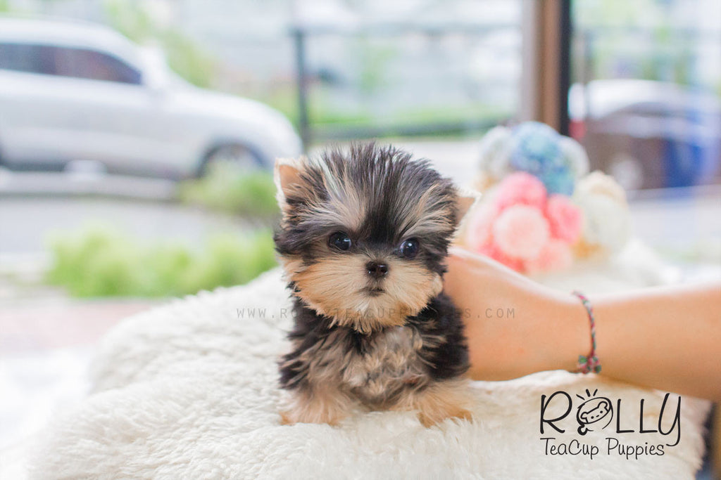 Kylie - Yorkie - Rolly Teacup Puppies - Rolly Pups