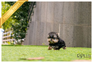 (PURCHASED by LOPEZ) LOLA - Yorkie. F - Rolly Teacup Puppies - Rolly Pups