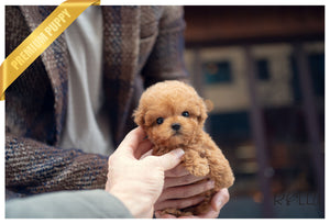 (PURCHASED by LOWERY) LUCAS - Poodle. M - Rolly Teacup Puppies - Rolly Pups