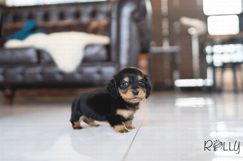 (PURCHASED by Tahnoon) LUCY - Dachshund. F - ROLLY PUPS INC